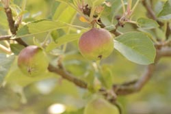 my eco garden - unripe apples mellow on the appletree
