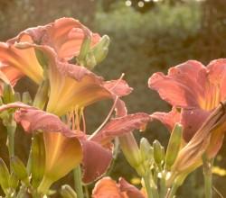 stauden-lilien